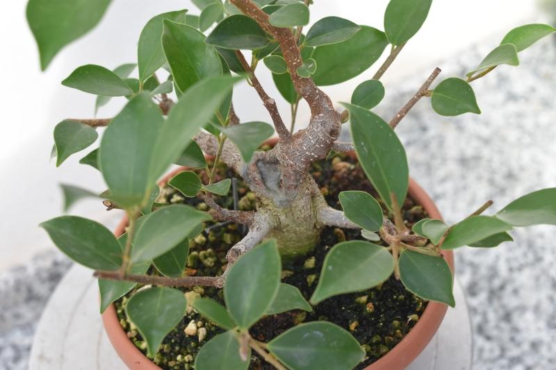 Primeros pasos de un Ficus tamaño shohin (Actualizado a IV/2019) Dsc_1312