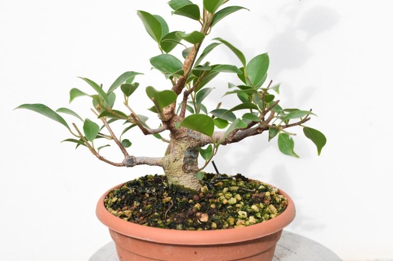 Primeros pasos de un Ficus tamaño shohin (Actualizado a IV/2019) Dsc_1313
