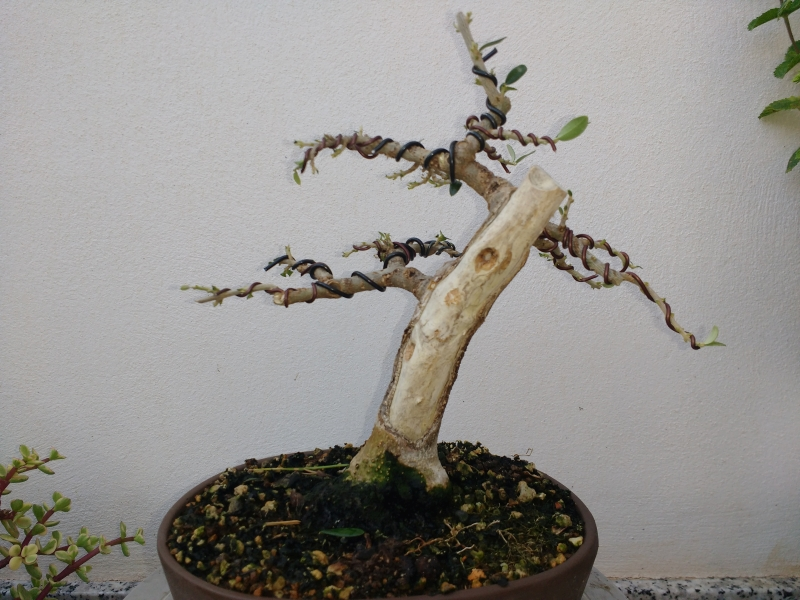 Recuperación y evolución de dos olivos yamadori (2014 - ACTUALIDAD) Img_2026