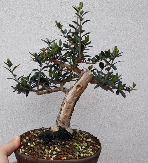 Recuperación y evolución de dos olivos yamadori (2014 - ACTUALIDAD) Img_2031