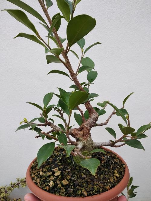 Primeros pasos de un Ficus tamaño shohin (Actualizado a IV/2019) Img_2037