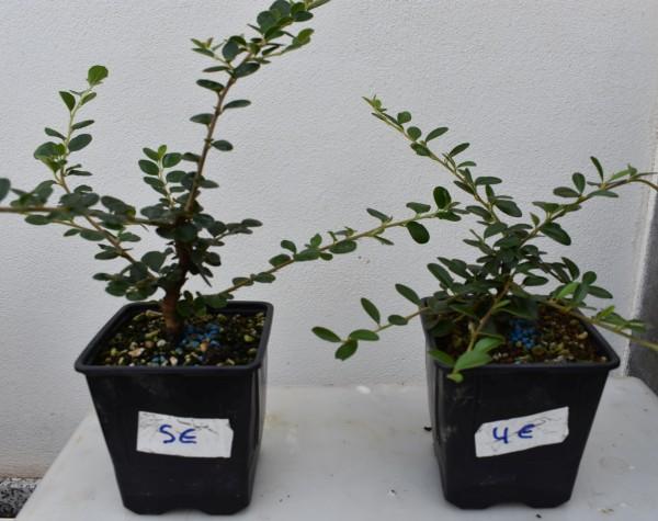 Venta de plantones y acentos Rdsc_314