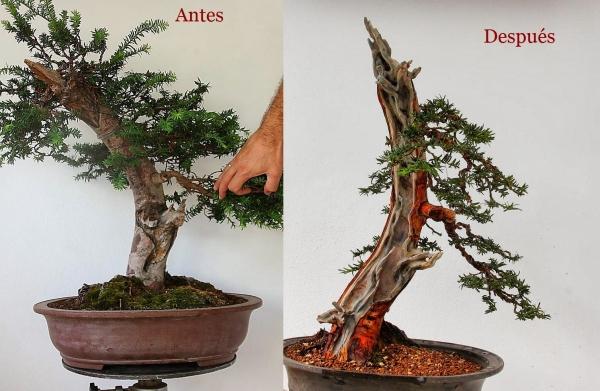 Recuperación y evolución de dos olivos yamadori (2014 - ACTUALIDAD) Tejo-o10