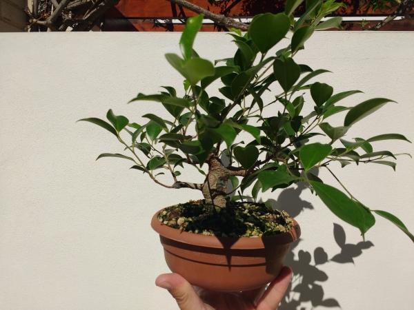 Primeros pasos de un Ficus tamaño shohin (Actualizado a IV/2019) Whatsa22
