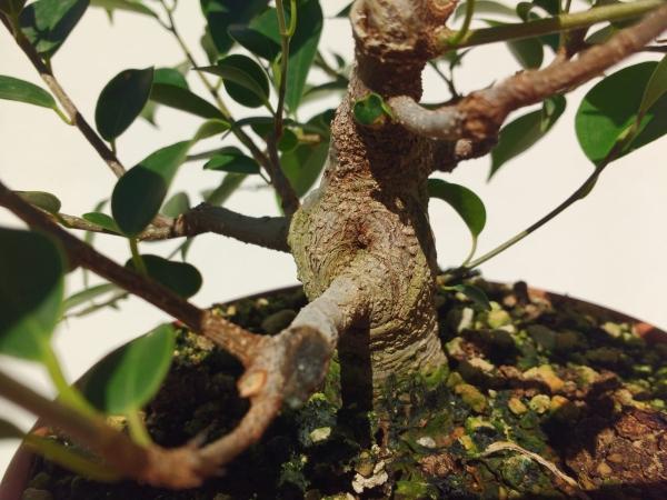 Primeros pasos de un Ficus tamaño shohin (Actualizado a IV/2019) Whatsa24
