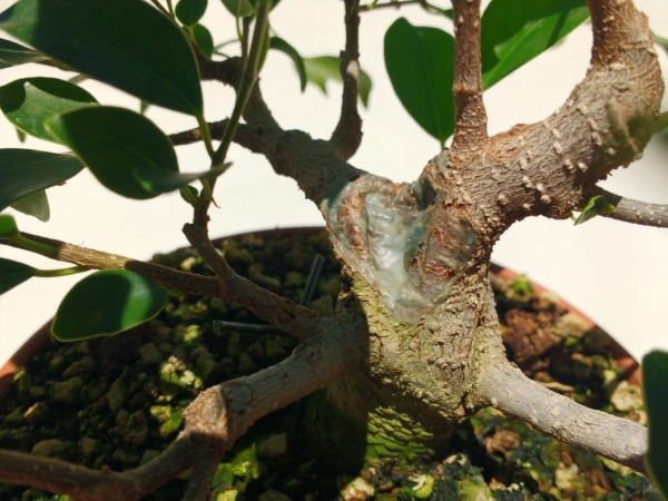 Primeros pasos de un Ficus tamaño shohin (Actualizado a IV/2019) Whatsa25
