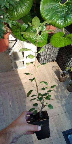 Vendo 4 plantones: Acer, Malus, Chaenomeles, Celtis Whatsa27