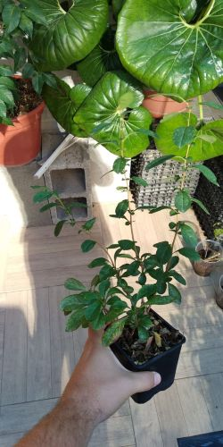 Vendo 4 plantones: Acer, Malus, Chaenomeles, Celtis Whatsa29