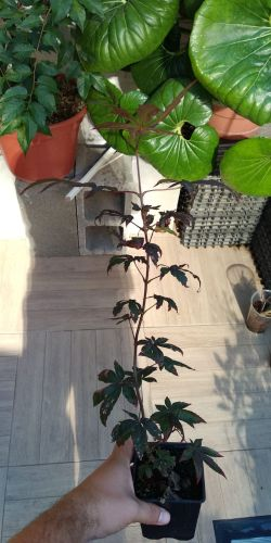 Vendo 4 plantones: Acer, Malus, Chaenomeles, Celtis Whatsa31
