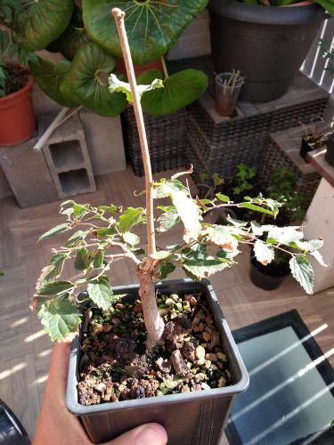 Vendo 4 plantones: Acer, Malus, Chaenomeles, Celtis Whatsa33
