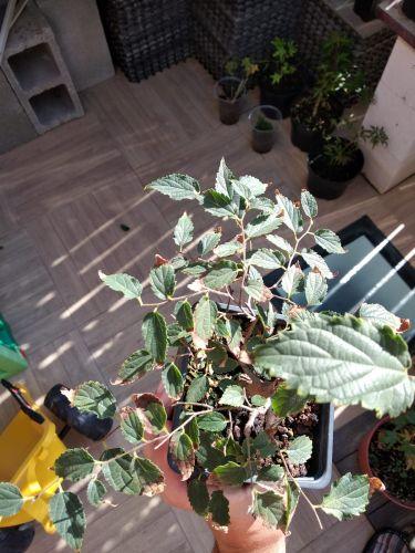 Vendo 4 plantones: Acer, Malus, Chaenomeles, Celtis Whatsa34
