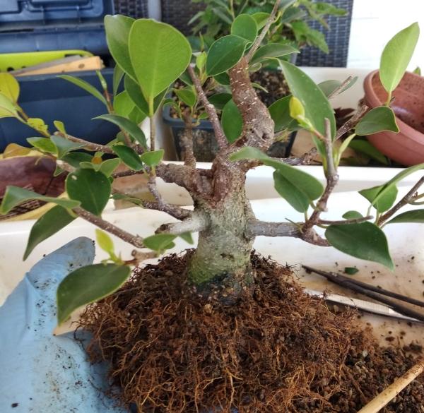 Primeros pasos de un Ficus tamaño shohin (Actualizado a IV/2019) Whatsa63