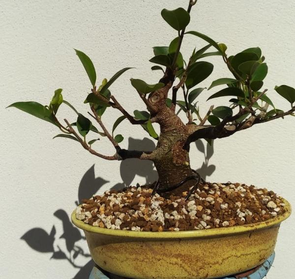 Primeros pasos de un Ficus tamaño shohin (Actualizado a IV/2019) Whatsa64