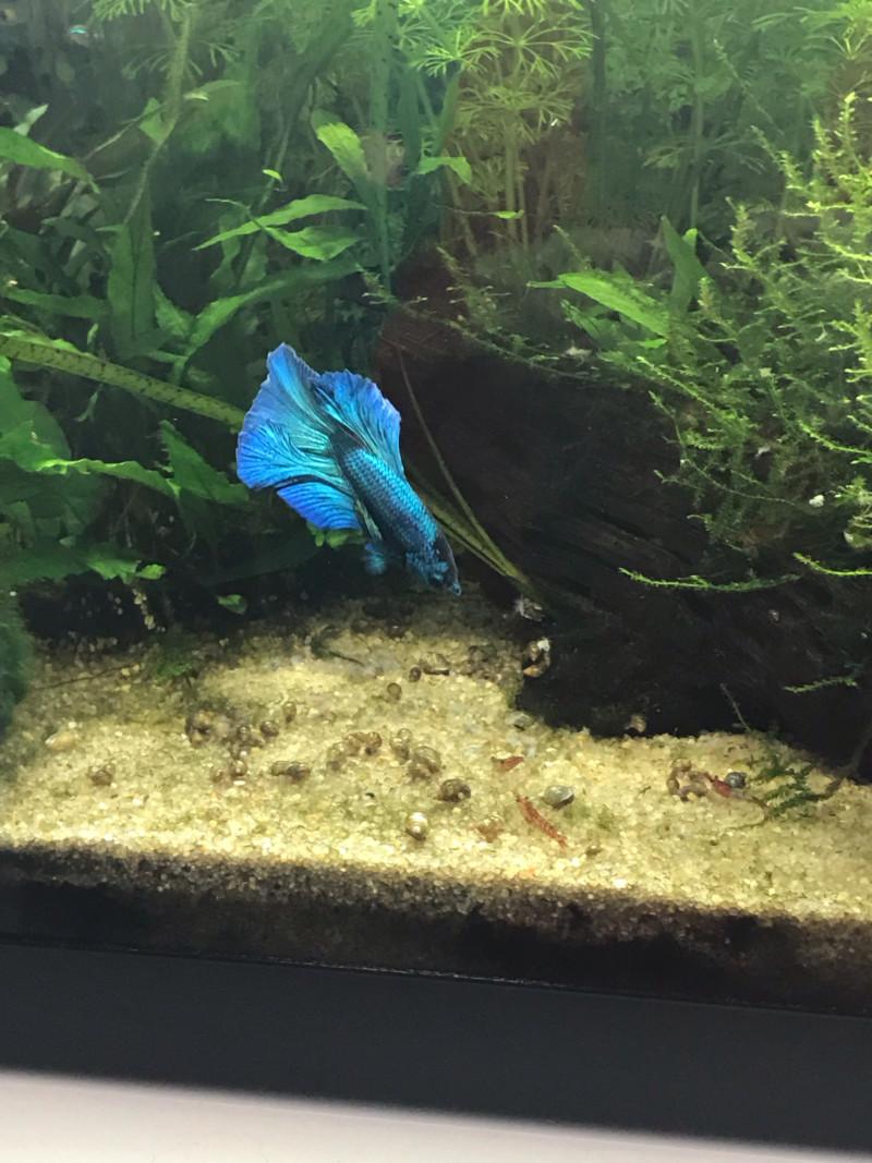 Mon premier aquarium : 60L planté - présentation. - Page 6 15531010