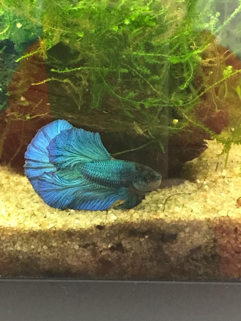 Mon premier aquarium : 60L planté - présentation. - Page 6 15531011