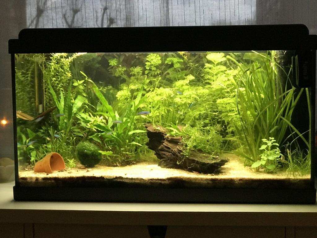 Mon premier aquarium : 60L planté - présentation. - Page 5 27385510