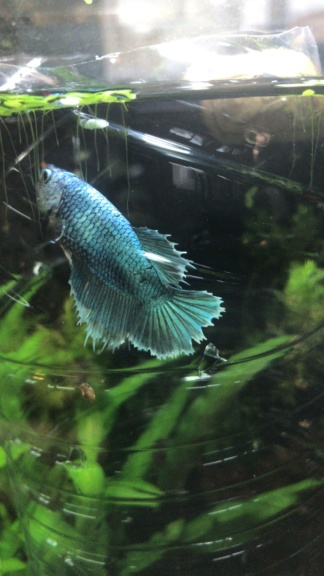 Reproduction du Betta splendens 3a5f3910