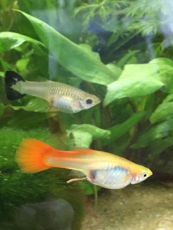 Mon premier aquarium 60L planté : nos nouveaux copains 3b0d3f10