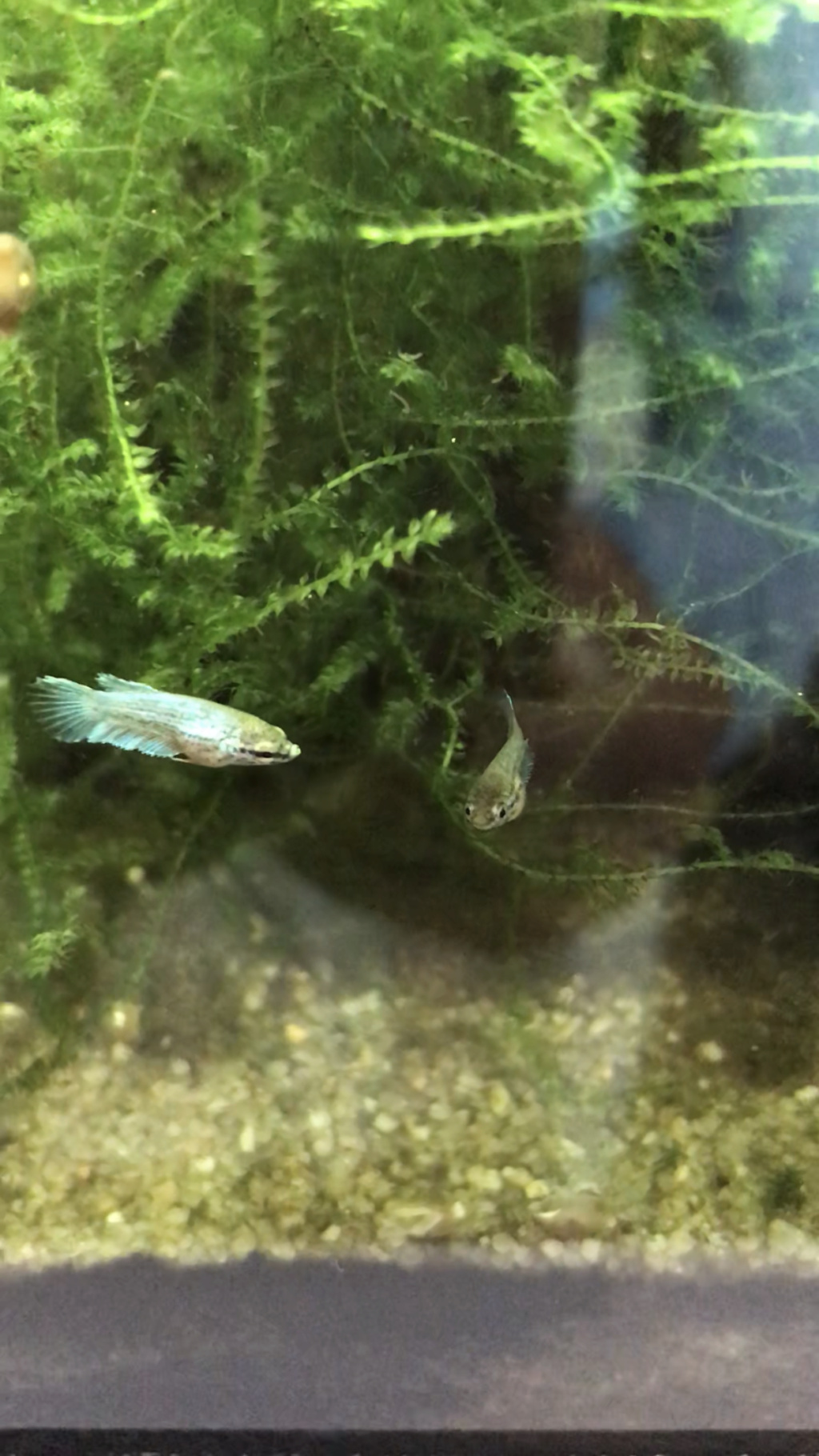 Reproduction du Betta splendens 9d26bc10