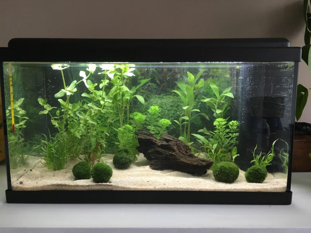 Mon premier aquarium 60L planté : nos nouveaux copains 9e7c3310