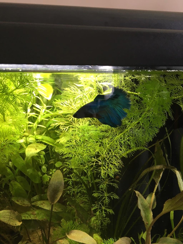 Mon premier aquarium : 60L planté - présentation. Blue_111