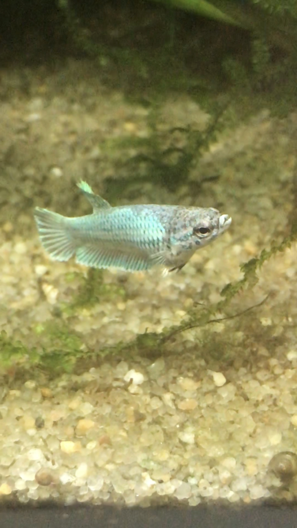 Reproduction du Betta splendens Ce544810