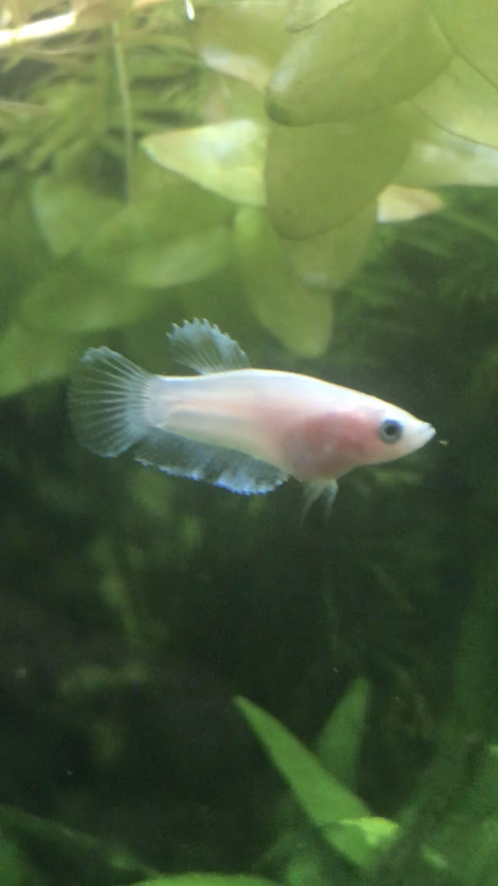 Reproduction du Betta splendens Eb560d10