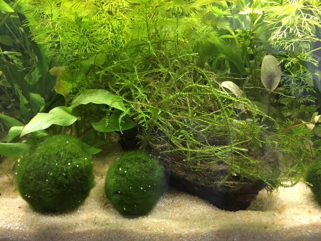 Mon premier aquarium : 60L planté - présentation. Img_5110