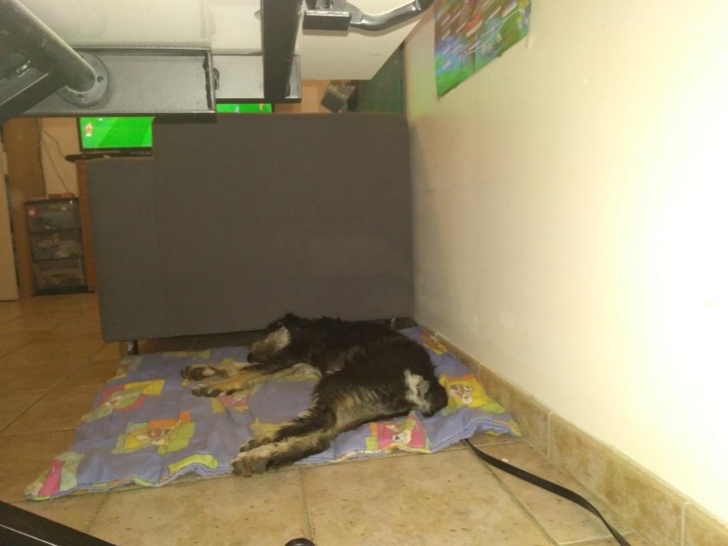 LASKA (chiot femelle fox/griffon) P_201814