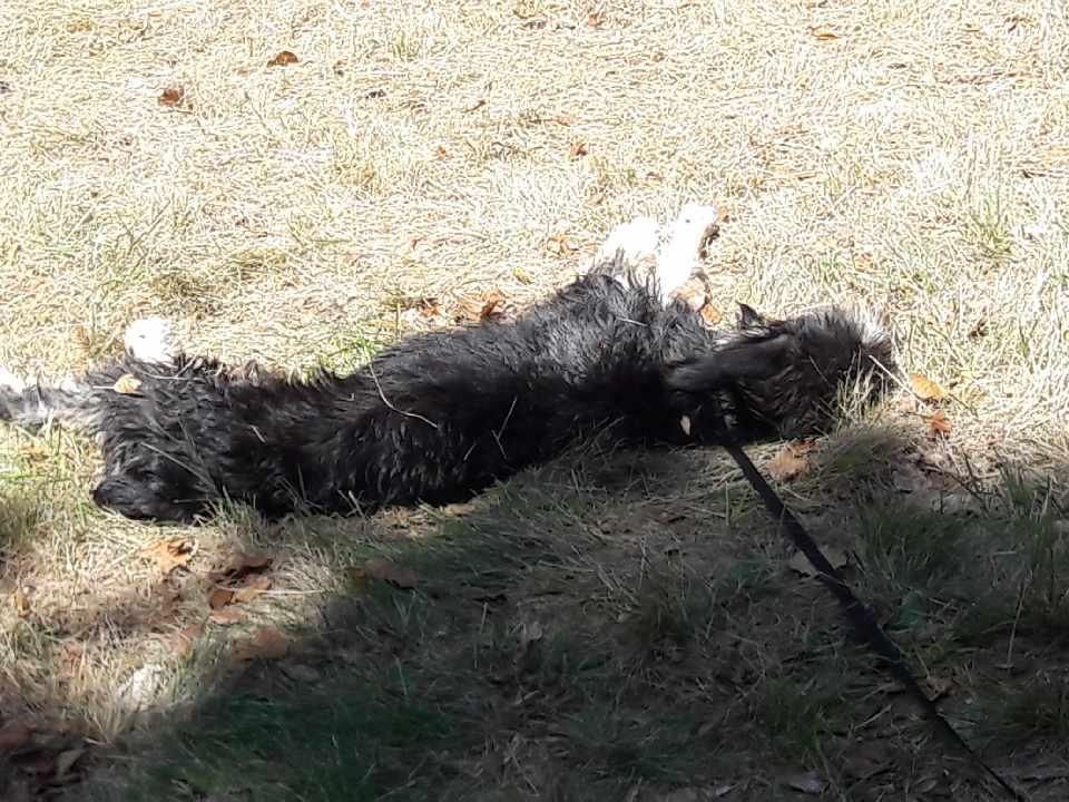 LASKA (chiot femelle fox/griffon) Resize12