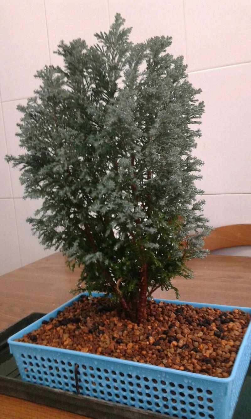 Mi pino azul se está secando 20180911