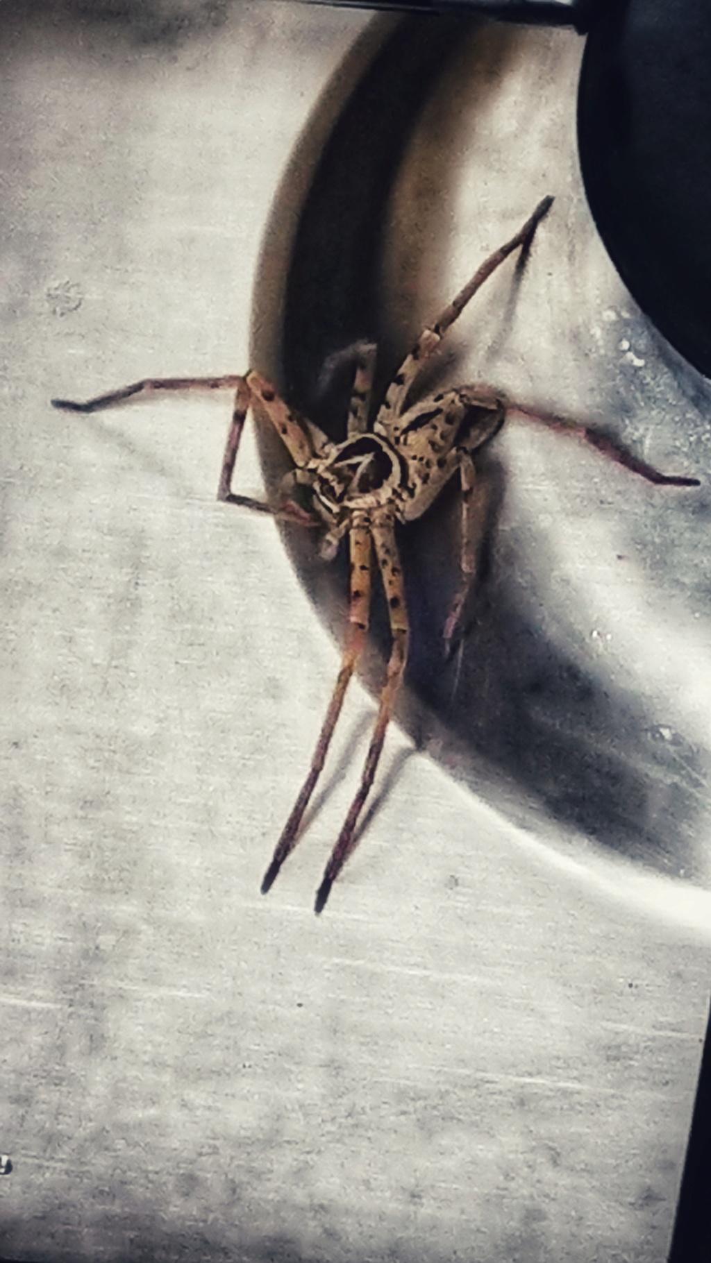 Quelle est cette araignée ?  Dsc_2111