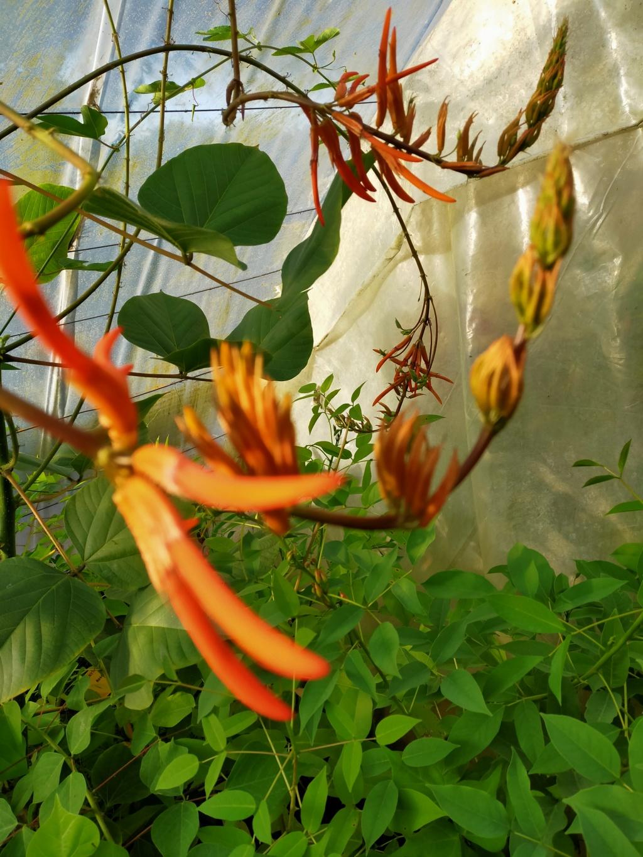 Erythrina longipes  (= Erythrina montana) - Page 2 Img20119