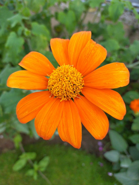 Tithonia rotundifolia - soleil du Mexique Img20125
