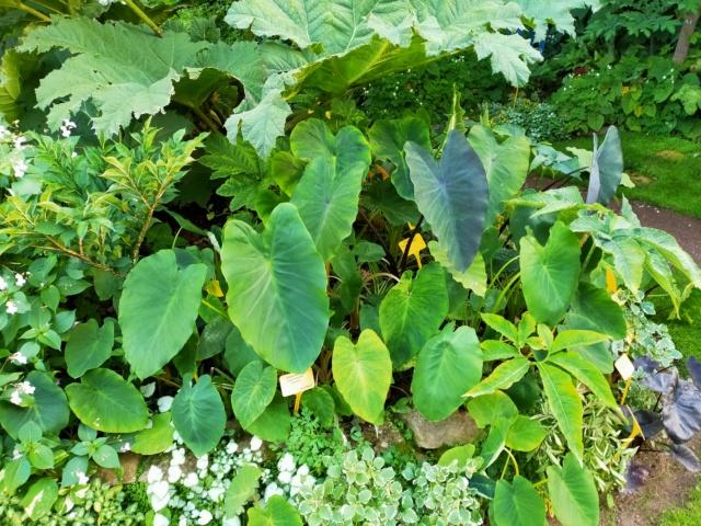 Colocasia esculenta - taro - Page 12 Img20151