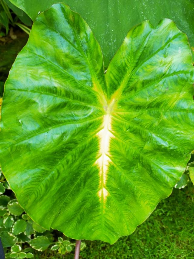Couleurs et formes des feuilles dans les Colocasia Img20190