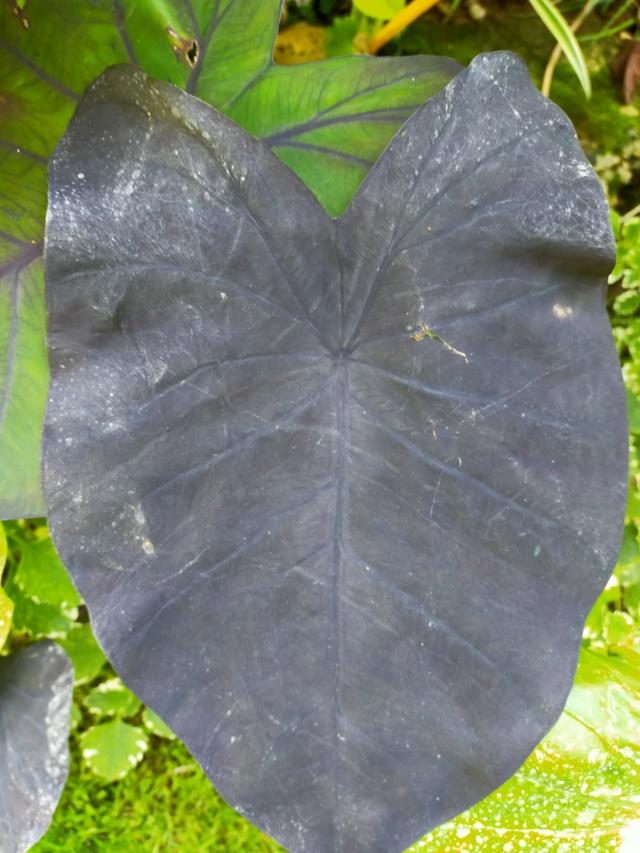 Couleurs et formes des feuilles dans les Colocasia Img20191