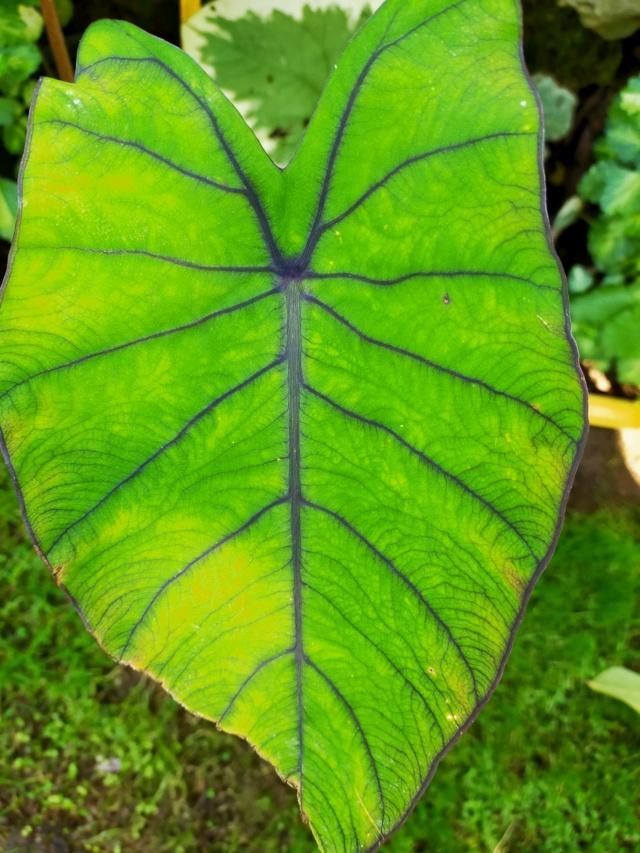 Couleurs et formes des feuilles dans les Colocasia Img20193