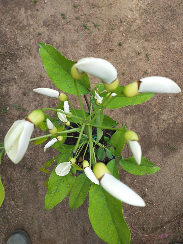 Erythrina crista-galli leucochlora Img20214