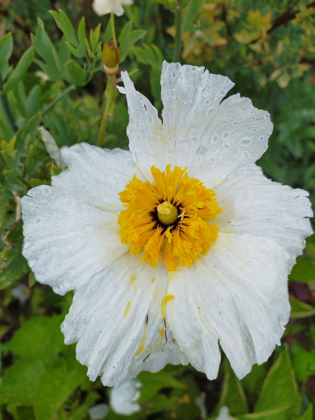 Romneya coulteri - Page 3 Img20246