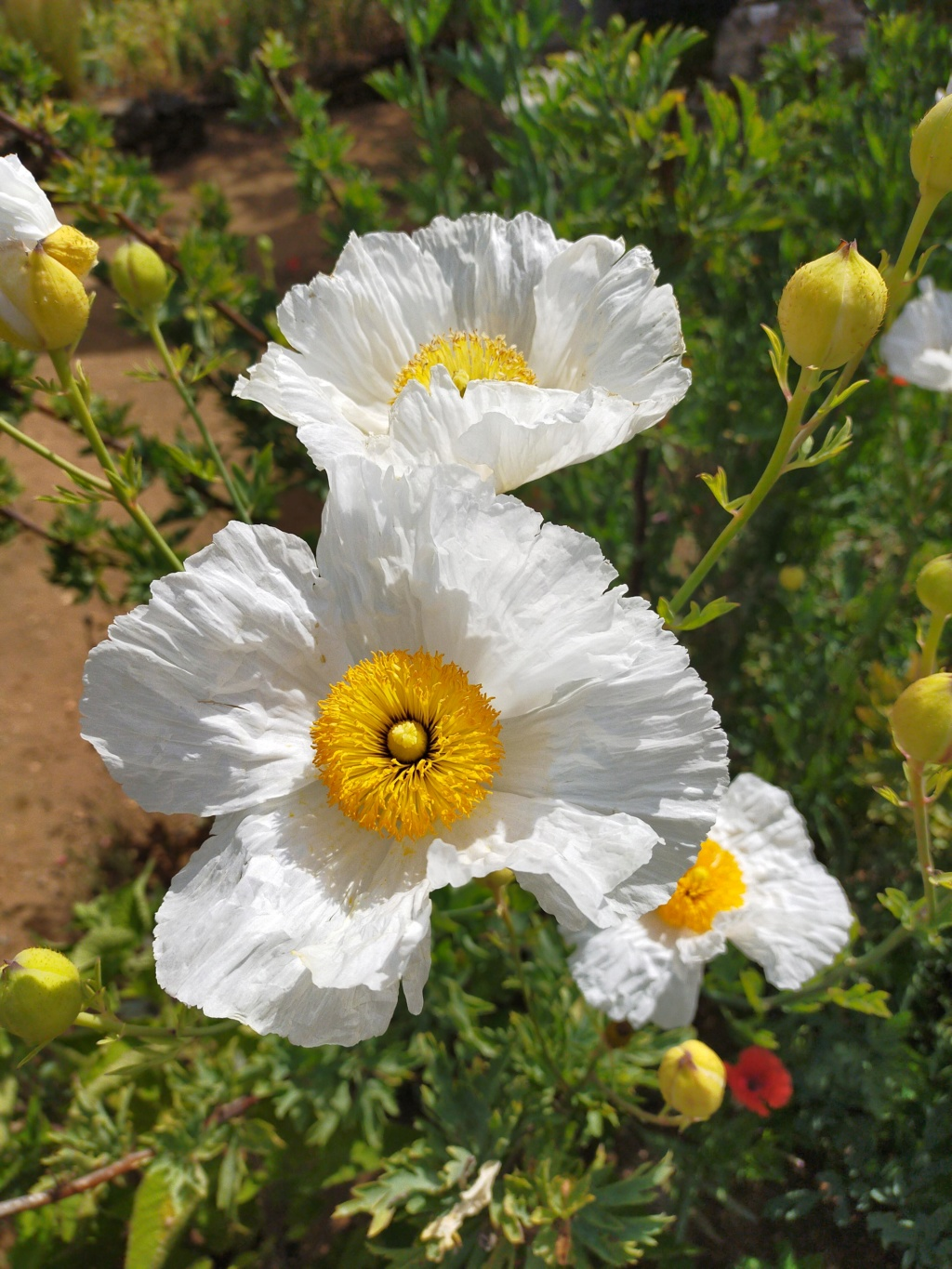 Romneya coulteri - Page 3 Img20247