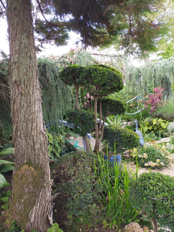 Niwaki, la taille en nuage, l'art topiaire, dans le jardin de Michel Img20255