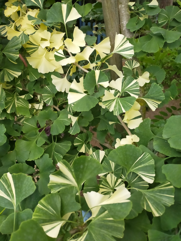 Ginkgo biloba f. variegata Img20268