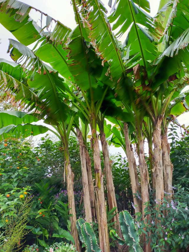 Musa basjoo - bananier du Japon - Page 4 Img20307