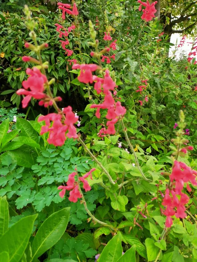 Salvia - les floraisons du moment - Page 20 Img20308
