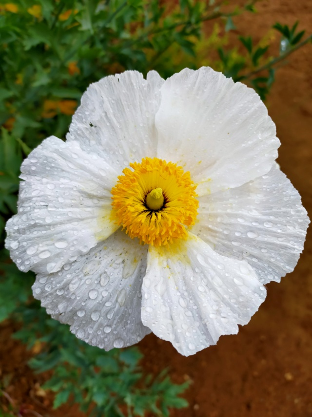 Romneya coulteri - Page 3 Img20311