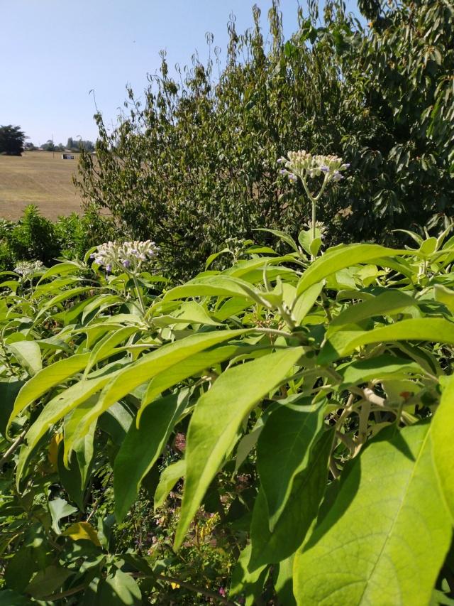 Solanum mauritianum - bringellier marron Img20334