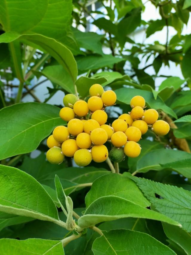 Solanum mauritianum - bringellier marron Img20335