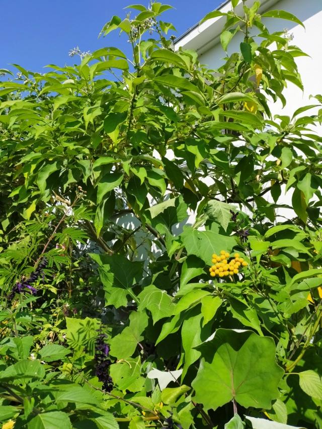 Solanum mauritianum - bringellier marron Img20351