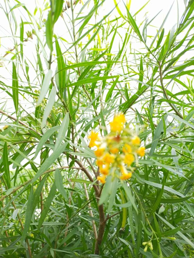 Freylinia lanceolata - Page 2 Img20408